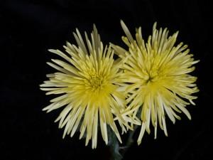 Postal: Crisantemos amarillos