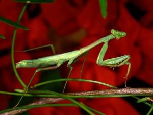 Postal: Mantis verde sobre una rama