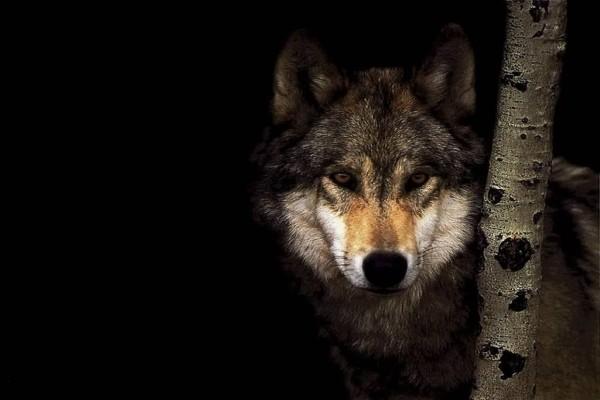 Lobo junto a un árbol en la oscuridad