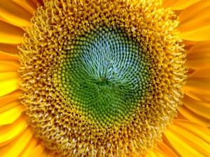 El centro de un girasol