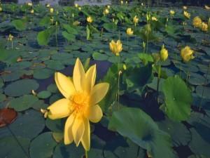 Plantas acuáticas con flores amarillas