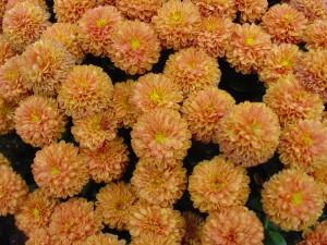 Crisantemos (Chrysanthemum) amarillos