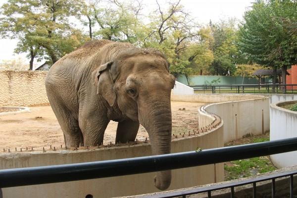 Elefante asiático en un zoológico
