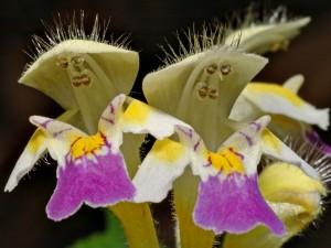 "Flor de ""Galeopsis speciosa"""
