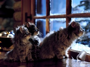Postal: Gatitos mirando por la ventana
