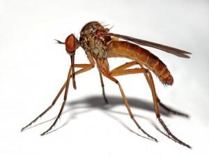 Mosquito macho (Empis livida)