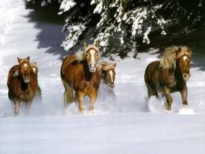 Postal: Caballos salvajes galopando por la nieve