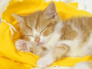 Gatito rubio dormido