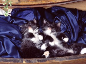 Postal: Gatitos durmiendo sobre terciopelo azul