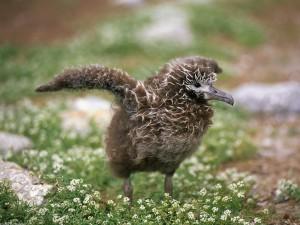 Postal: Polluelo de albatros