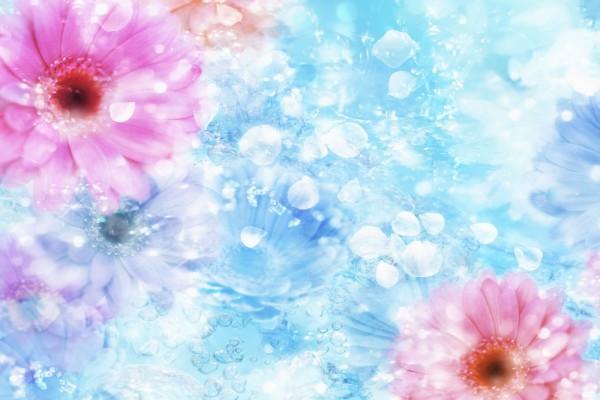 Gerberas rosas sobre fondo azul