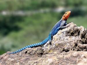 Lagarto de fuego (Agama agama), en el Parque Nacional del Lago Nakuru, Kenia