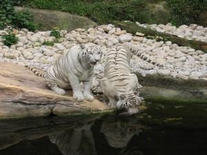 Tigres blancos en el Zoológico de Singapur