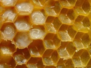 Panal de miel de abejas (Apis mellifera) con huevos y larvas