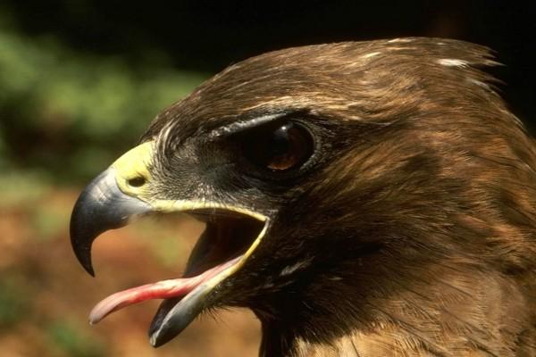 Águila sacando la lengua