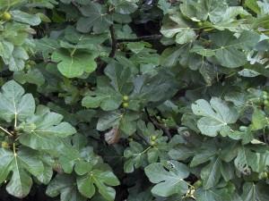 Ficus carica con sus frutos