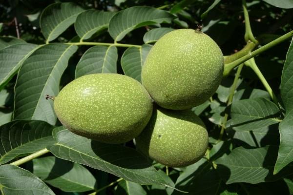 Frutos verdes del nogal común