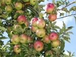 Manzanas en el manzano