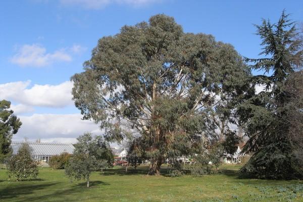 Eucalipto bogong (Eucalyptus chapmaniana)