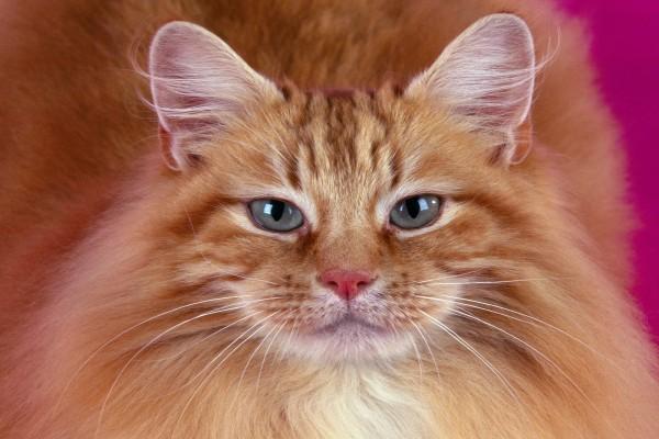 Gato mirando de frente