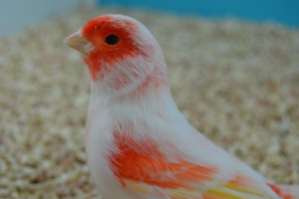 Canario tricolor