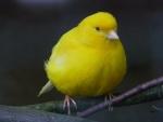 Un bonito canario amarillo