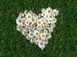 Postal: Corazón de margaritas blancas