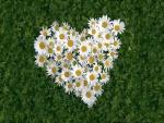 Corazón de margaritas blancas