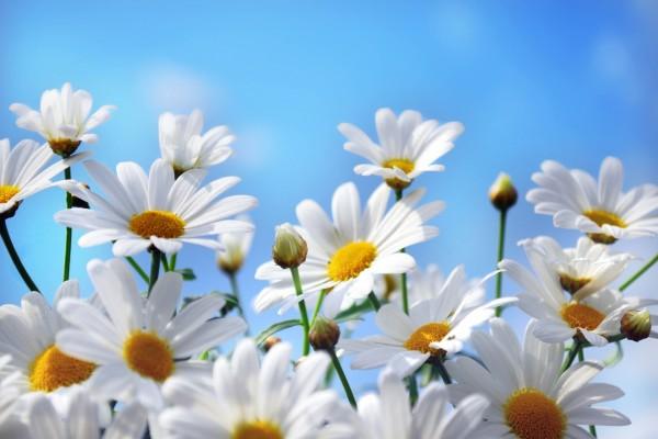Margaritas blancas y un cielo azul