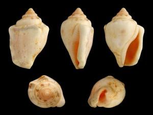 Conchas de Canarium ochroglottis (Strombidae)
