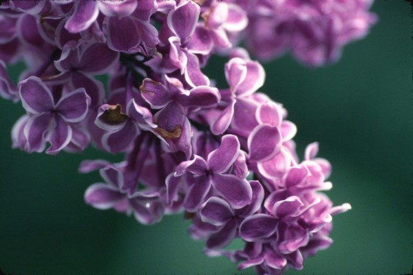 Pequeñas flores de lila