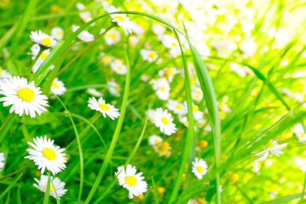 Verde campo con blancas margaritas
