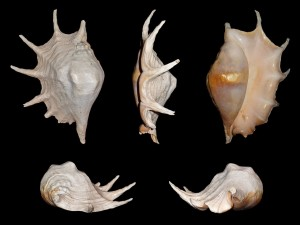 Conchas de gasterópodos de la especie Lambis truncata, abundante en el litoral de Mozambique