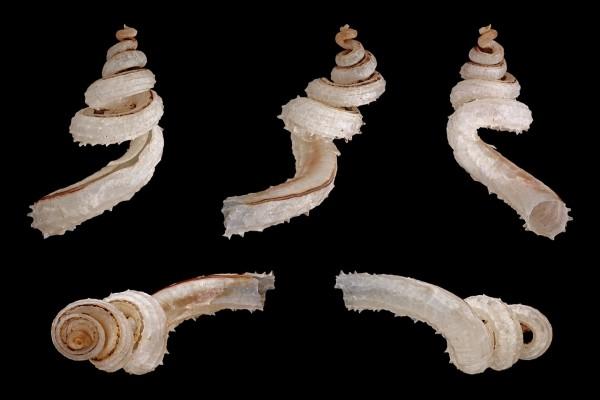 Caracoles escamosos, originarios de Filipinas