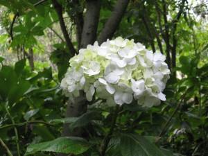 Postal: Una solitaria hortensia blanca
