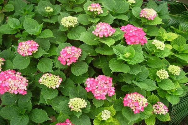 Floración de hortensias