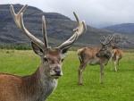 Ciervo común en Escocia
