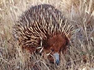 Un equidna de hocico corto o australiano (Tachyglossus aculeatus)