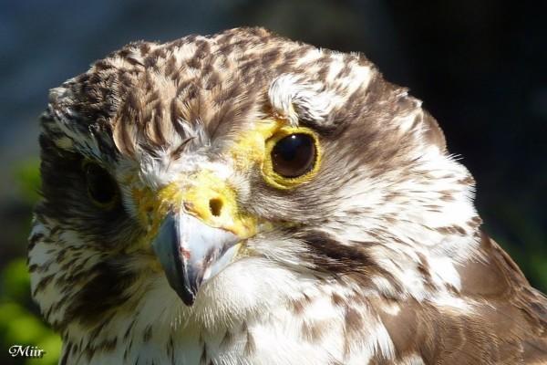 Cabeza de halcón