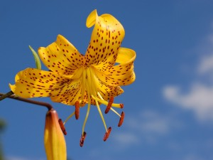 Lilium amarillo moteado