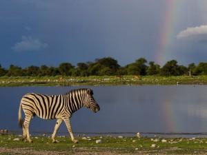 Cebra en Klein Namutoni con el arco iris de fondo