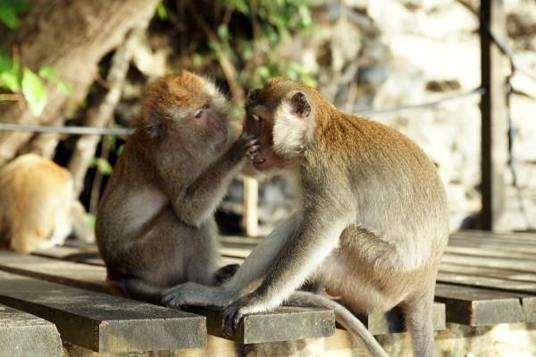 Macacos cangrejeros (Macaca fascicularis)