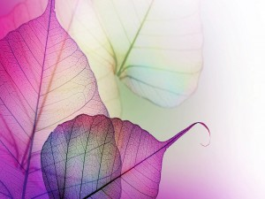 Postal: Hojas de color púrpura transparentes