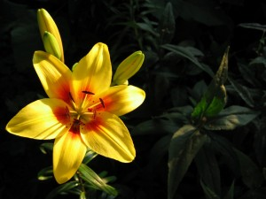 Postal: Flor de lilium abierta