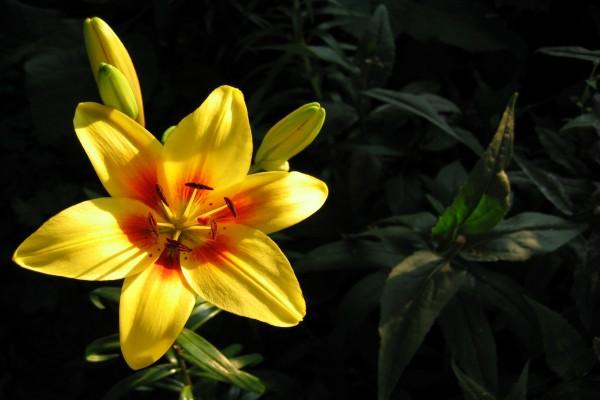 Flor de lilium abierta