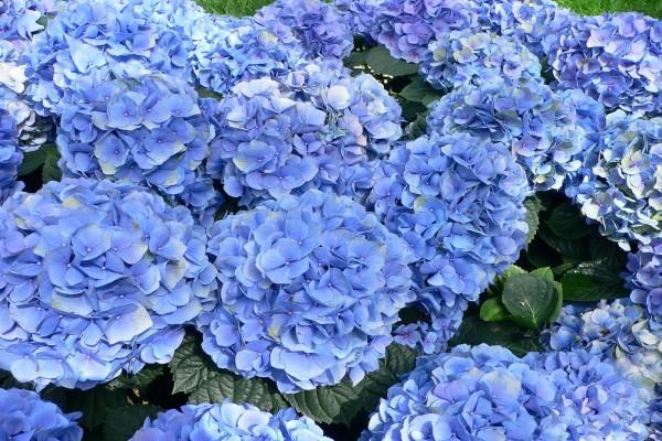 Grandes hortensias azuladas