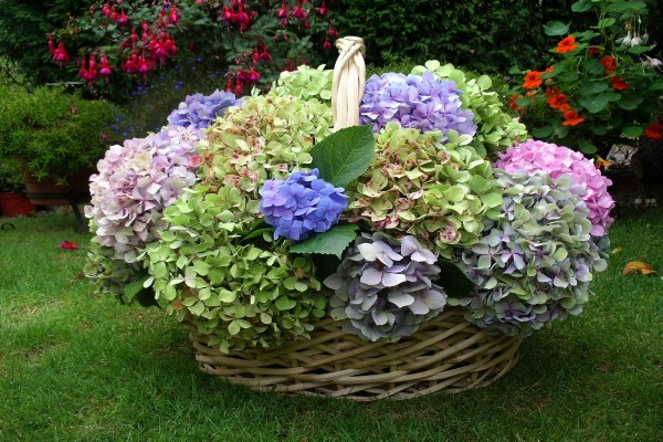 Cesta de mimbre con hortensias de colores