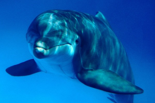 Delfín bajo el agua