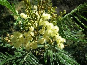 Acacia australiana