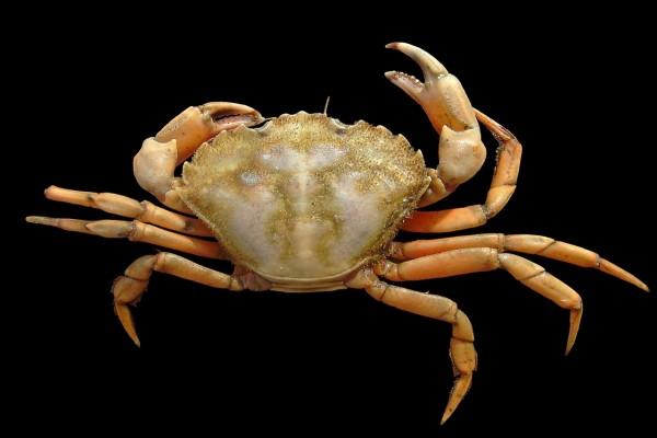 Cangrejo de mar común